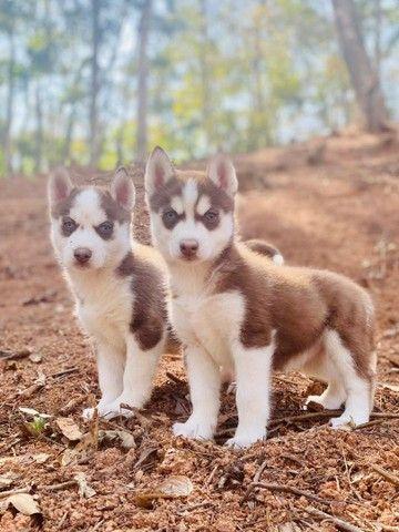 Husky siberiano filhotes disponíveis