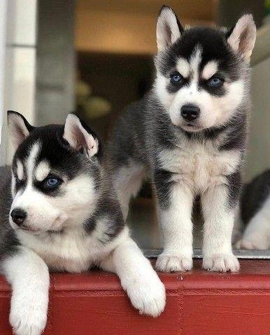 Filhotinhos de Husky - Foto 2