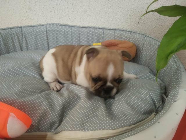 Filhote de Bulldog Francês ol - Foto 3
