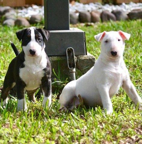 Filhotinhos de Bull Terrier promoção só hoje - Foto 2