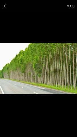Fazendo de eucaliptos em Mato Grosso do Sul - MS - Foto 5