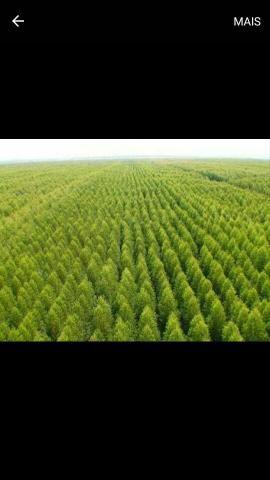 Fazendo de eucaliptos em Mato Grosso do Sul - MS - Foto 2