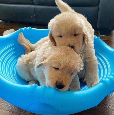 Filhotinhos de Golden