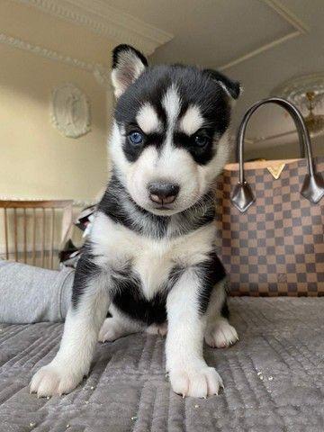 Husky Siberiano filhotes com benefícios entre em contato para comprar!