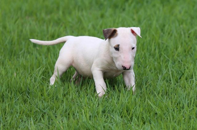 Filhotes de English Bullterrier