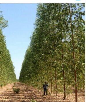 Fazendo de eucaliptos em Mato Grosso do Sul - MS - Foto 3