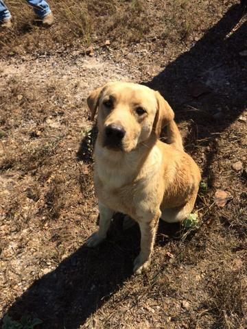 Labrador macho disponível para cruza
