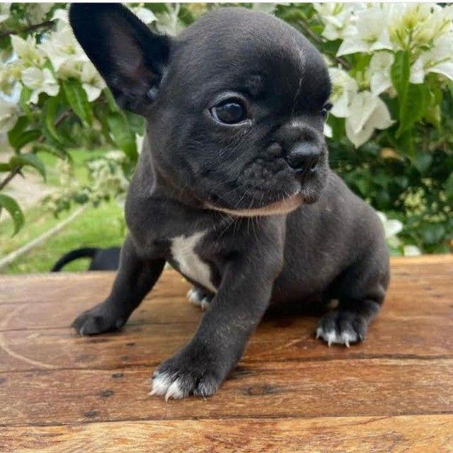 Bulldog Francês pirata, preto, creme, chame no whats *<br><br><br> - Foto 2