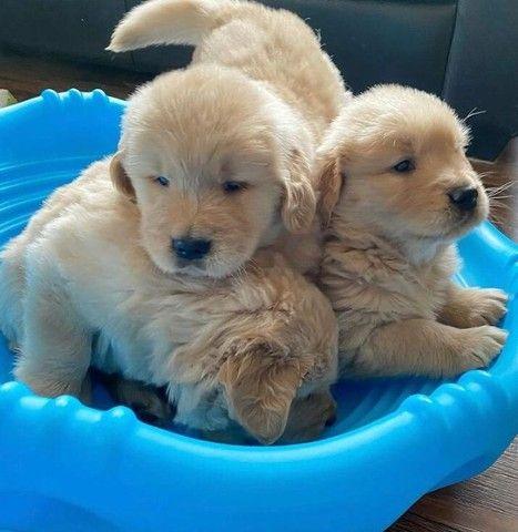Filhotinhos de Golden  - Foto 2