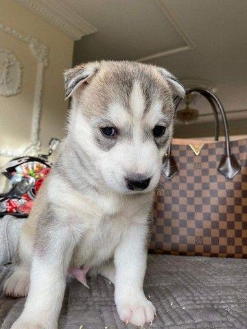 Husky Siberiano filhotes com benefícios entre em contato para comprar! - Foto 2