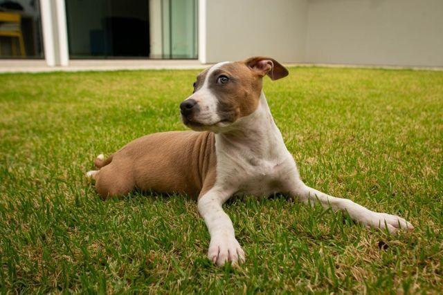 Filhotes de American Staffordshire terrier (amstaff) com PEDIGREE - Foto 4