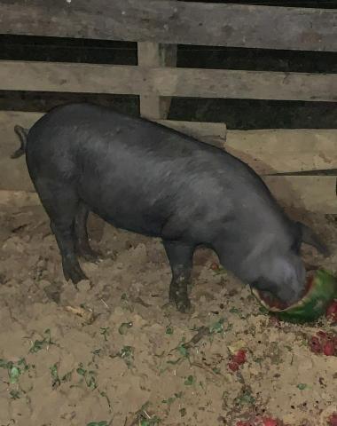 3 porcos caipira - Foto 3