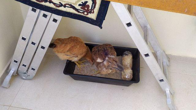 Vendo duas galinhas caipiras.