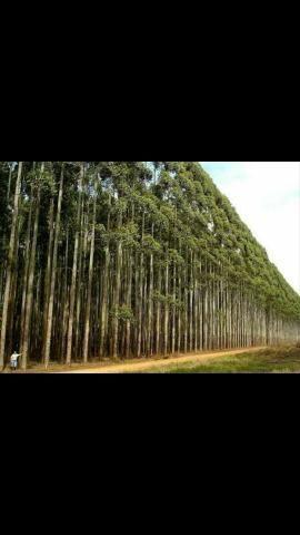 Fazendo de eucaliptos em Mato Grosso do Sul - MS