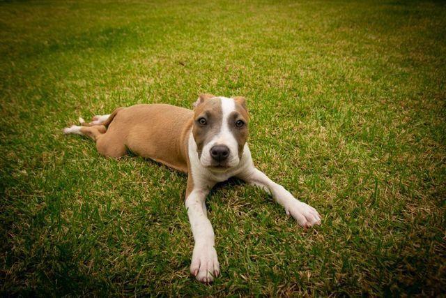 Filhotes de American Staffordshire terrier (amstaff) com PEDIGREE - Foto 5