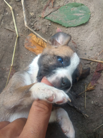 Doando cachorrinhos viralata  - Foto 3