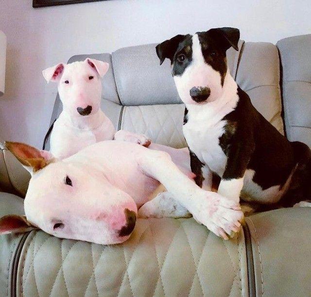 Promoção só hoje filhotes de Bull Terrier - Foto 2