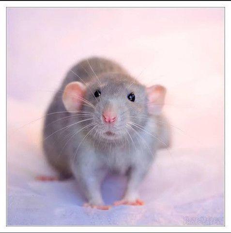 Ratinho de Laboratório / Camundongo / Dongo / Mercol / Twister / Dumbo / Blue / Rato / Rex - Foto 5