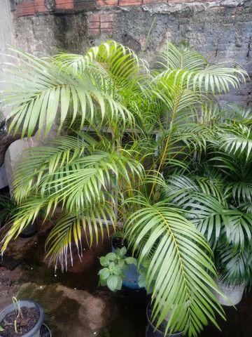Vende-se palmeiras - Foto 2