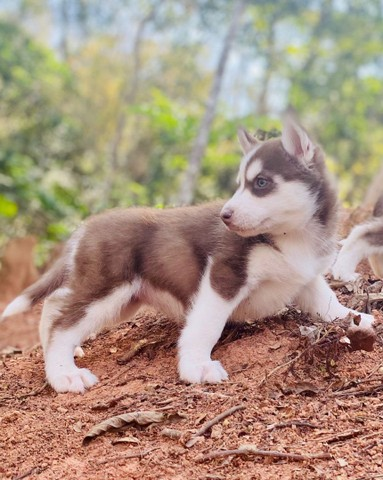 Husky siberiano filhotes disponíveis - Foto 4