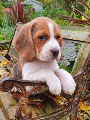 Beagle filhotes com benefícios e garantias entre em contato!  - Foto 2