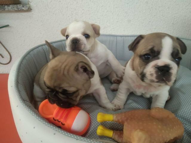 Filhote de Bulldog Francês ol - Foto 2