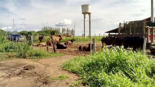 Bela fazenda de 157 hectares com gado leiteiro em Aguá -Branca -Pi - Foto 7