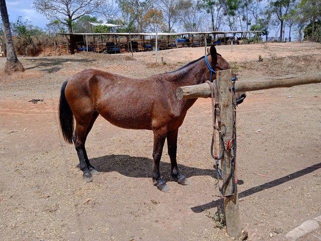 Égua mangalarga prenha,5 anos muito mansa