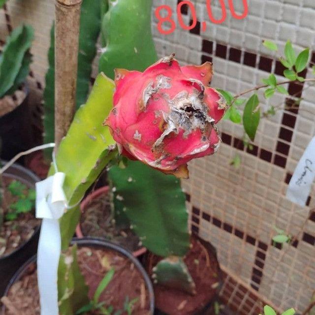 Frutiferas em Vaso Enxertadas Produzindo  - Foto 6