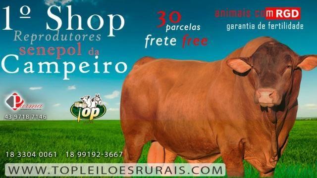 [EBF] Touros Senepol PO em 30 parcelas - Shopping Online