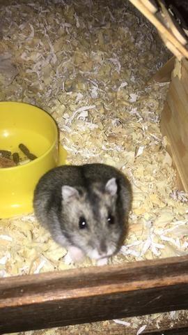 Vendo casal de hamster com gaiolas - Foto 4