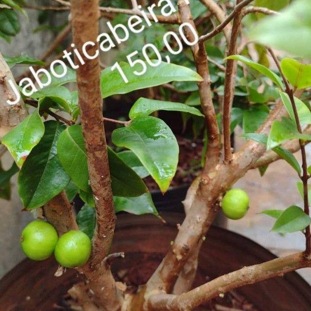 Frutiferas em Vaso Enxertadas Produzindo  - Foto 5