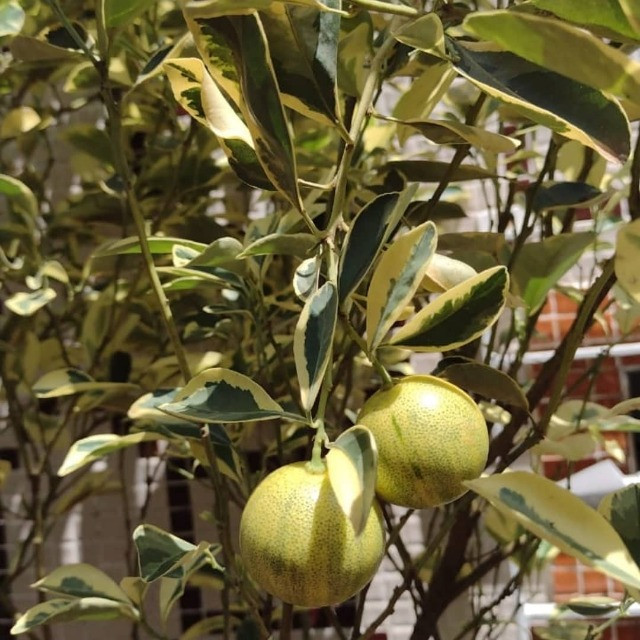 Frutiferas em Vaso Enxertadas Produzindo  - Foto 4