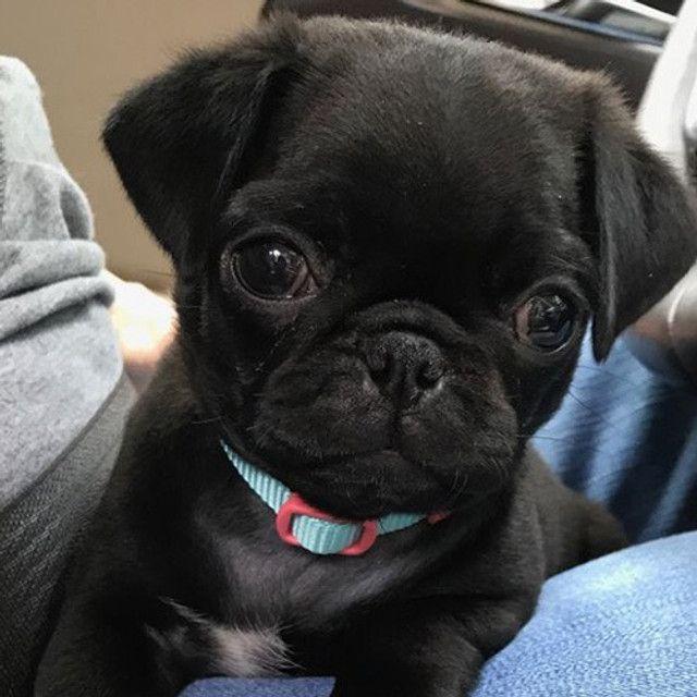 Pug adoráveis