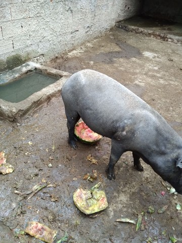 Porcos Caipira em bela Vista de Goiás! - Foto 2