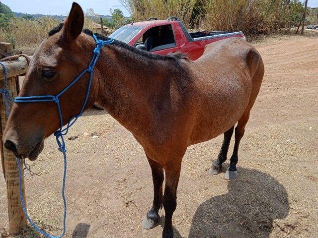 Égua mangalarga prenha,5 anos muito mansa - Foto 3