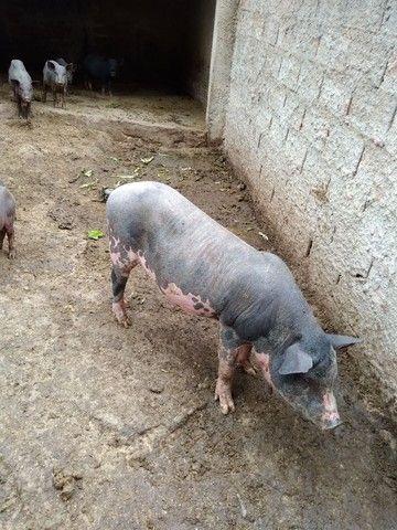 Porcos Caipira em bela Vista de Goiás! - Foto 4
