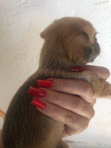 Poodle micro toy  com yorkshire  - Foto 6