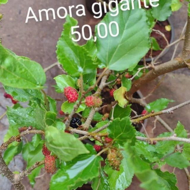 Frutiferas em Vaso Enxertadas Produzindo  - Foto 2