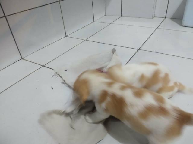 Filhotes Beagle Bicolor - Foto 4