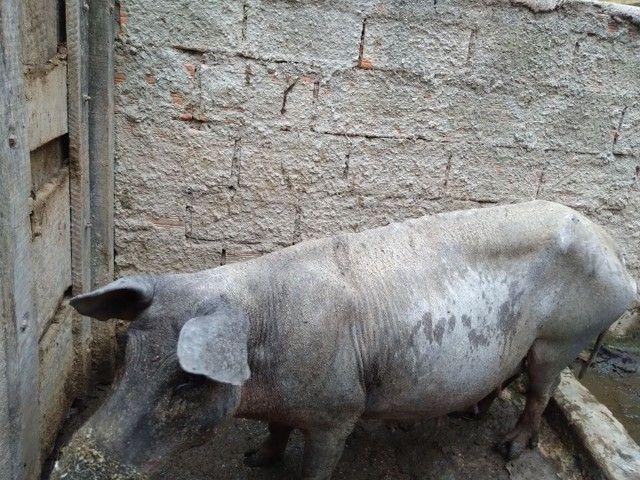 Porcos Caipira em bela Vista de Goiás! - Foto 5