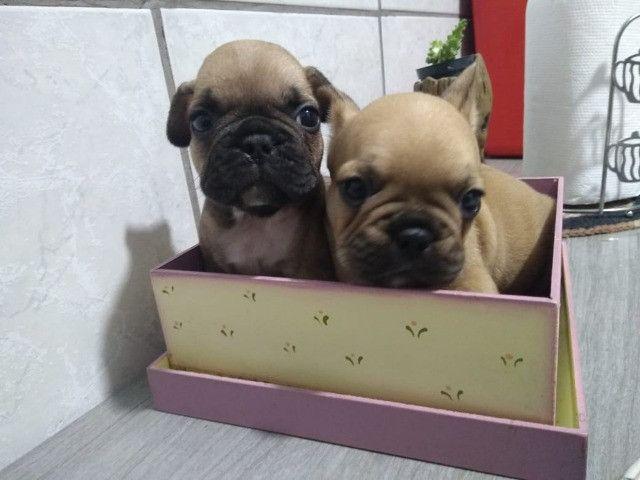 Lindo casal de bul dog frânces - Foto 3