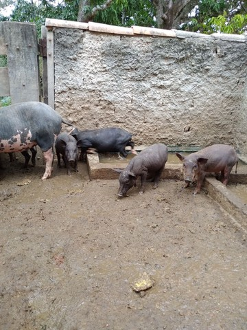 Porcos Caipira em bela Vista de Goiás! - Foto 3