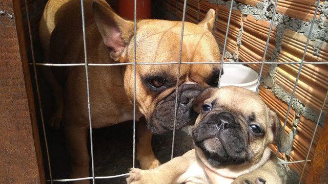 Lindo casal de bul dog frânces - Foto 4