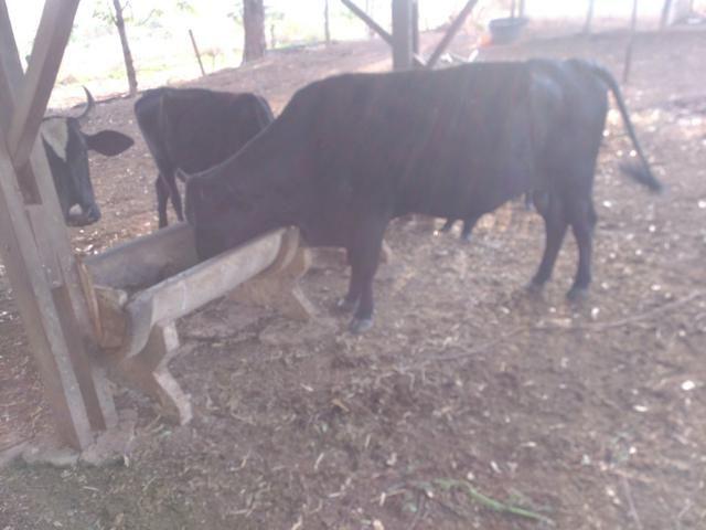 Vacas e novilhas - Foto 3