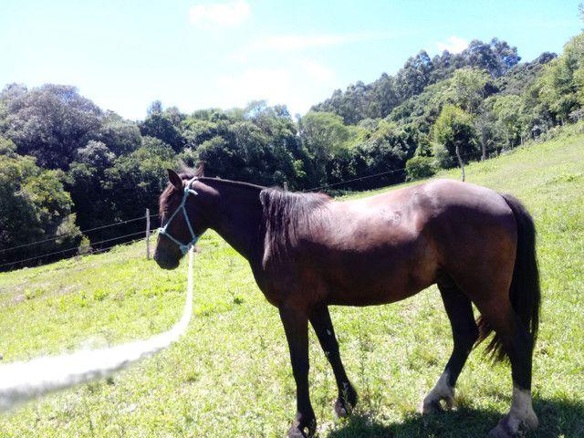 Vendo cavalo criolo manso e de laço  - Foto 3