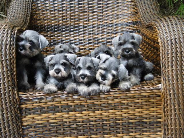 Schnauzer Miniatura - filhotes lindíssimos há 24 anos. Reserve o seu !!!!!