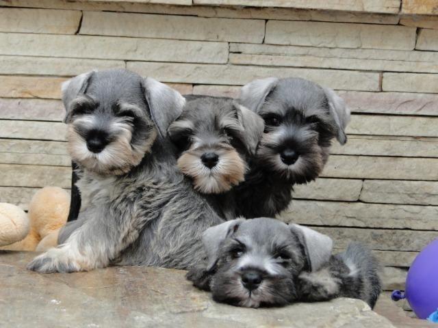 Schnauzer Miniatura - filhotes lindíssimos há 24 anos. Reserve o seu !!!!! - Foto 4