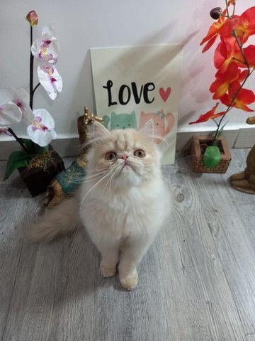 Gatos Persas.