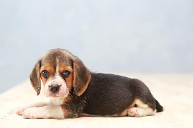 Beagle fofinhas